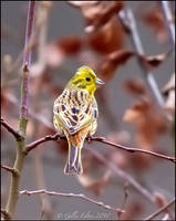 Yellowhammer by Swordtemper