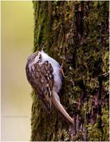 Treecreeper by Swordtemper