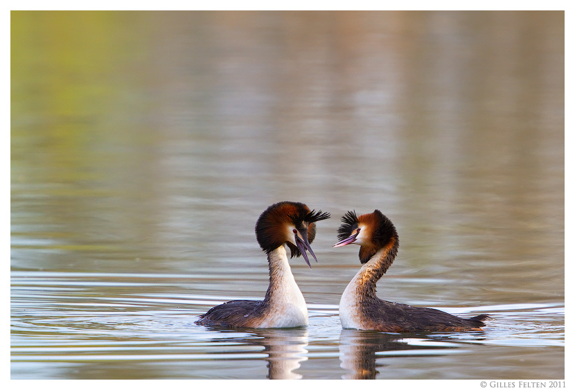 Grebes by Swordtemper