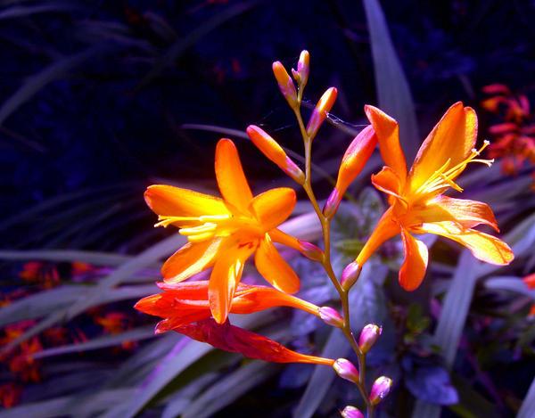 Orange Plant by x-foxi-x