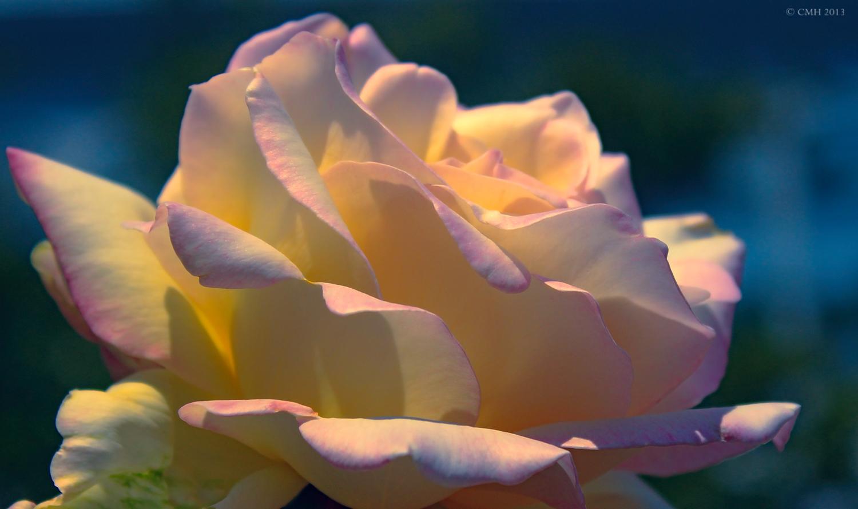 Rose by tina1138