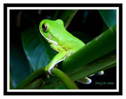 White Lipped Green Tree Frog 2 by FNQ