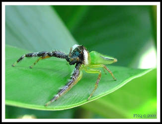 Green Jumping Spider Male by FNQ
