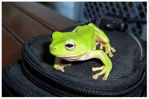 Camera Bag Frog by FNQ