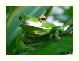White Lipped Green Tree Frog 1 by FNQ