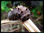 Cairns Birdwing Cattapilla