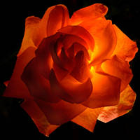 Backlit Rose by FeralWhippet