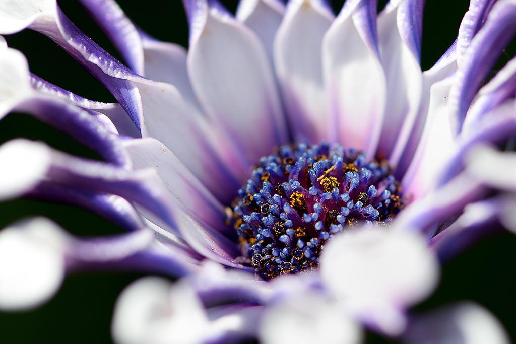 Spoon Daisy (Osteospermum) by FeralWhippet