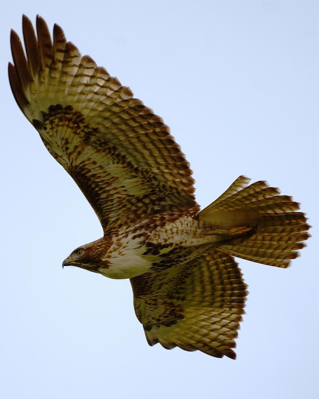 Red Tailed Hawk in Flight II by FeralWhippet