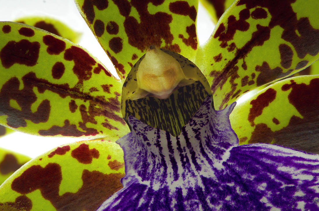 Orchid Flower Macro by FeralWhippet