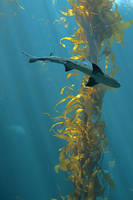 Cruisin' the kelp forest II by FeralWhippet