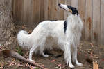 I'm a Borzoi and I know it!