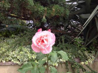 Evil rose by Olmat