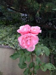 Triple rose by Olmat