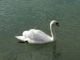Swan 7 by Cycy-stock