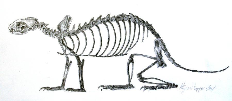 ferret skeleton by northernlightsfox on deviantart
