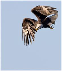Plummeting Eagle by JAHarrell