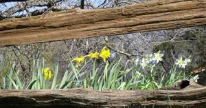Daffodil Hill-22