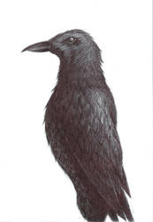 Crow Pen Drawing by Azterion