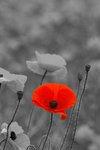 1 Poppy by theshaver
