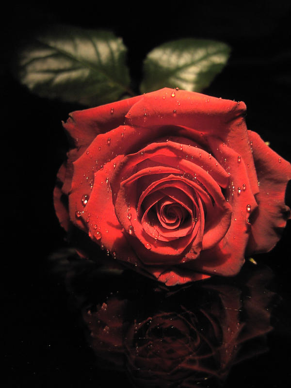 Rose stock 03 by Malleni-Stock