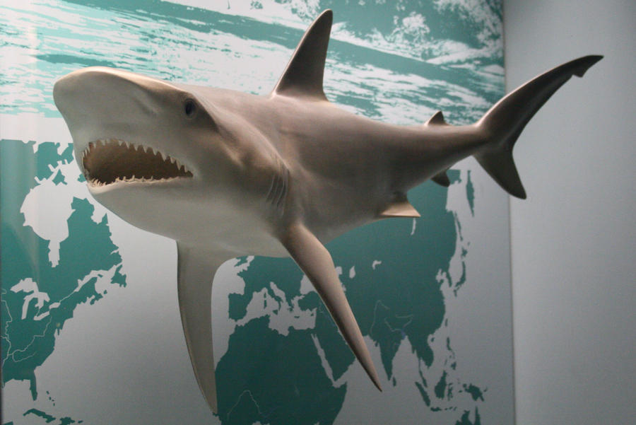 Shark Stock by Malleni-Stock