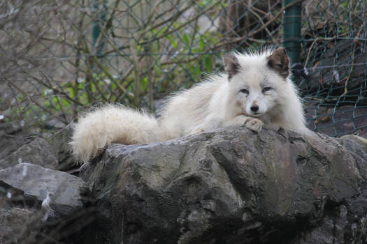 Arctic Fox Stock 04