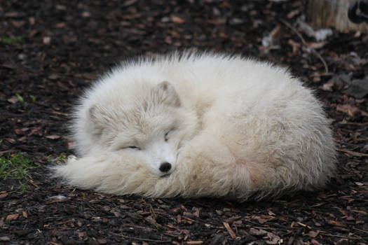 Arctic Fox Stock 02