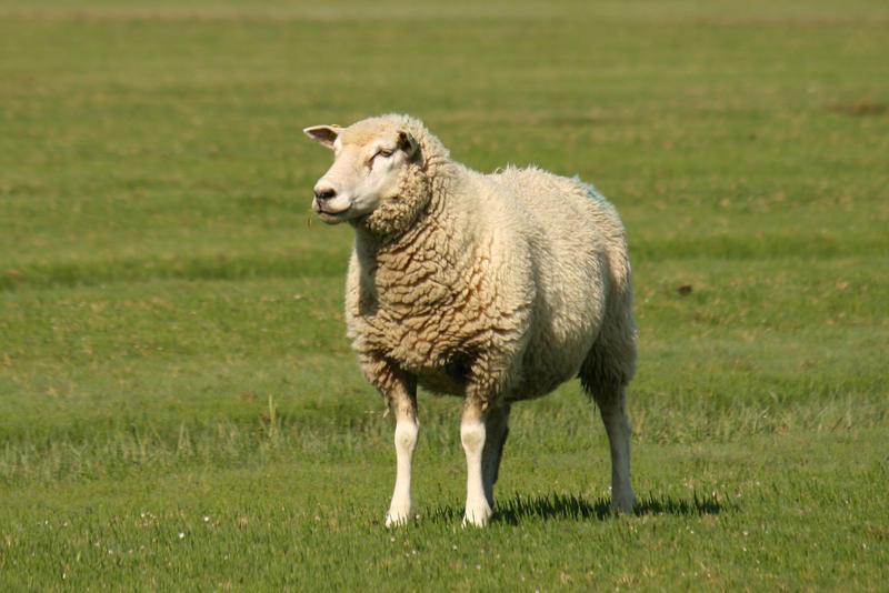 Sheep Stock 03