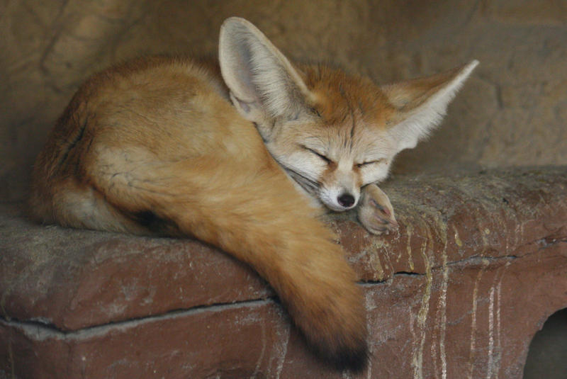 Fennec Stock 02 by Malleni-Stock