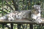 Snow leopard Stock 01 by Malleni-Stock