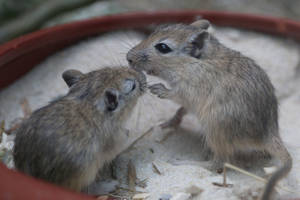 Gerbil Stock 03 by Malleni-Stock