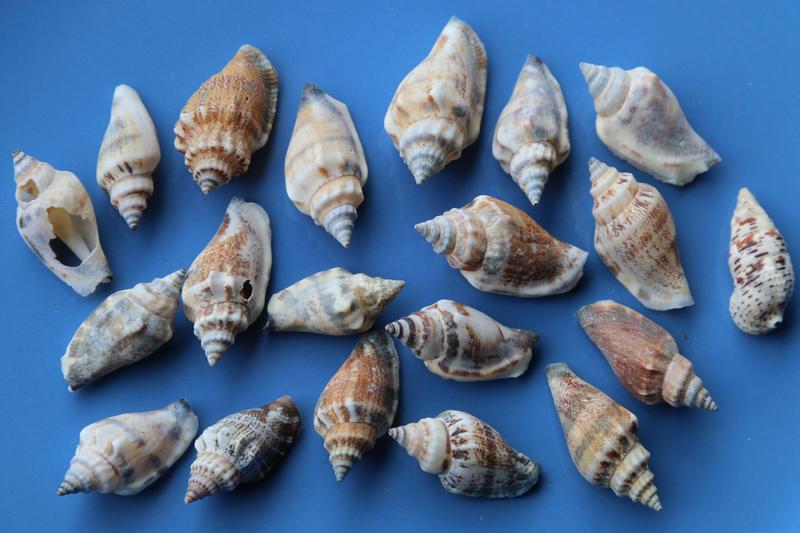Sea shell Stock 047