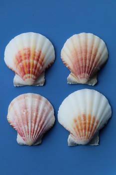 Sea shell Stock 052