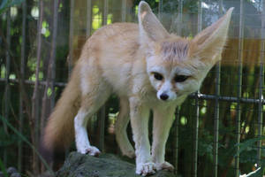 Fennec Stock 17 by Malleni-Stock
