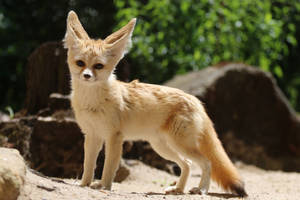 Fennec Stock 12 by Malleni-Stock