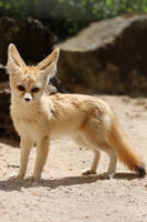 Fennec Stock 14 by Malleni-Stock
