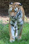 Tiger Stock 05 by Malleni-Stock