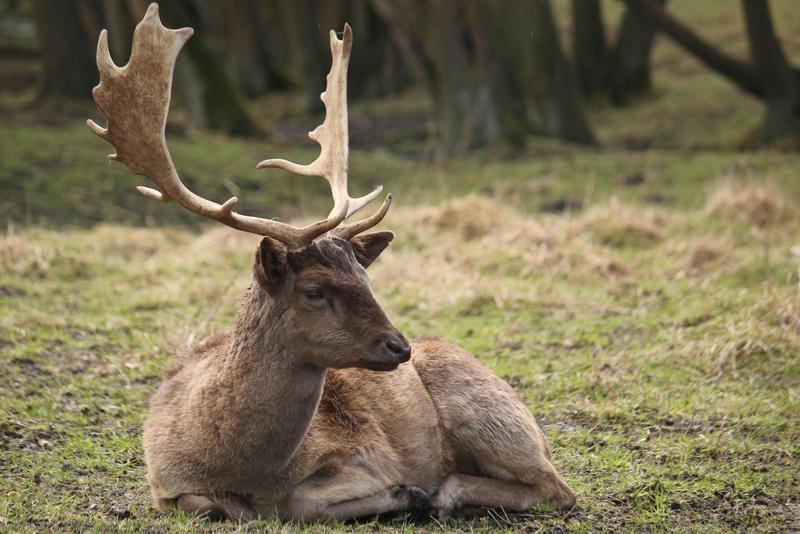 Deer Stock 30