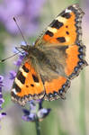 Butterfly Stock 40 by Malleni-Stock