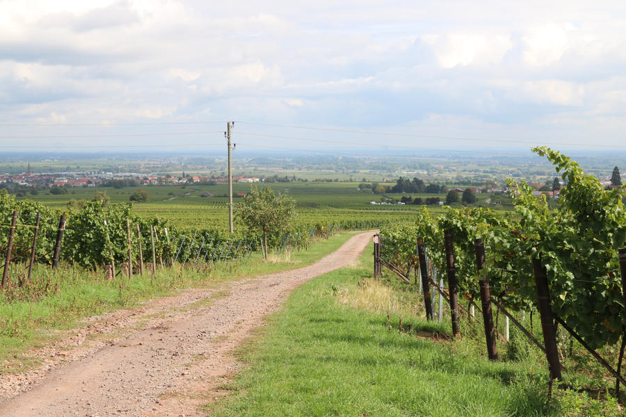 Vineyard Stock 26
