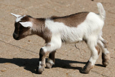 Goat Stock 03 by Malleni-Stock