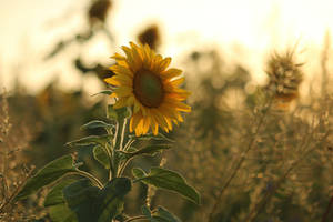 Sunflower Stock 29 by Malleni-Stock