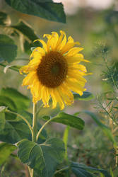 Sunflower Stock 28 by Malleni-Stock