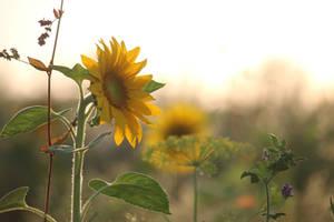Sunflower Stock 15