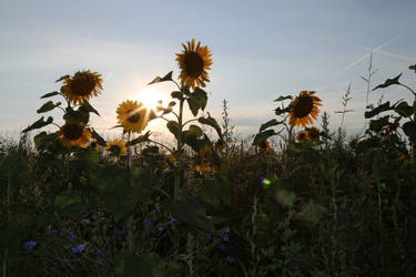 Sunflower Stock 19 by Malleni-Stock