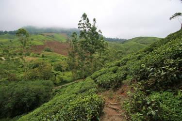 Tea Plantation Stock 02 by Malleni-Stock