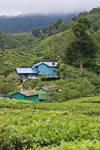 Tea Plantation Stock 08