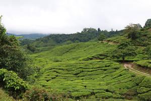 Tea Plantation Stock 22 by Malleni-Stock