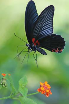 Butterfly Stock 052
